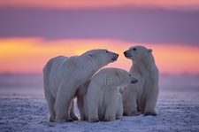 Canadian Arctic Polar Bears