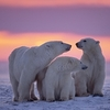 Canadian Polar Bear Family