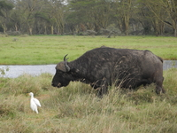 Cape Buffalo And Cattle Egrets
