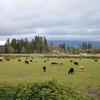 Cattle Graze Near Grants Pass
