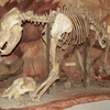 Cave Bear Skeleton In Hungarian Natural History Museum