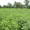 Cotton Field In Northern Benin
