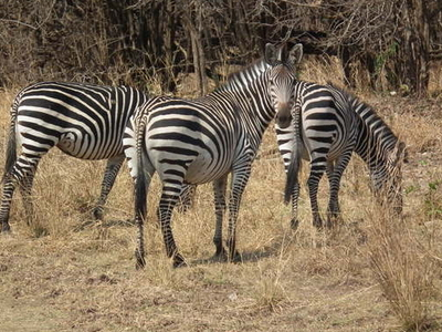 Crawshay's Zebra In South Luangwa National Park