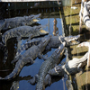 Crocodile Farm Siem Reap