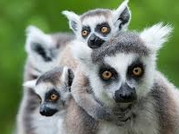 5 Days with Lemurs in Madagascar Photos