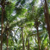 Dapoli-Coconut Groves