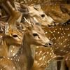 Deer At Zoo Negara - Selangor