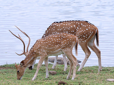 Deer At Ranthambhore National Park