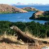 Dragon On Island Rinca