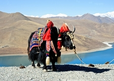 Dressed Yak In Tibet