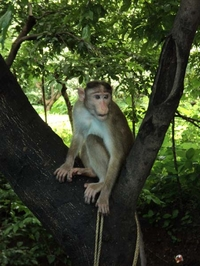 Monkey At Elephanta Caves