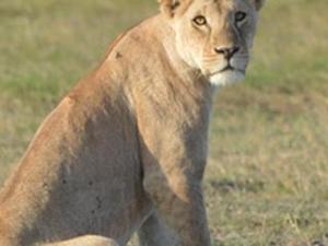 Big Five Encounter - Masai Mara - Kenya Photos