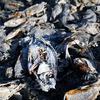 Dead Fish On The Western Shore Of Salton City