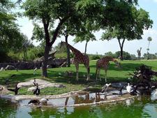 Edge Of Africa Giraffes