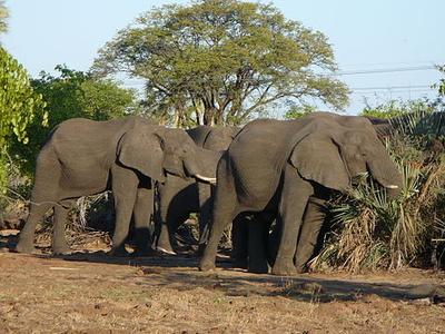 Elephants, Mosi-oa-Tunya National Park
