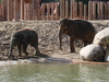 Asian Elephants - Copenhagen Zoo