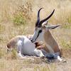 Etosha National Park Springbok