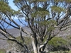Snow Gum At Tree In Kosciuszko National Park