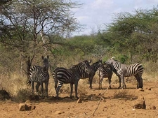 Family Of Zebra