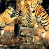 Tadoba Tiger Reserve - Playful Inmates
