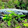 Crocodile Caught Napping At Tadoba