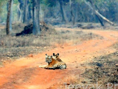 Tigers Frolicking On Tadoba Trail