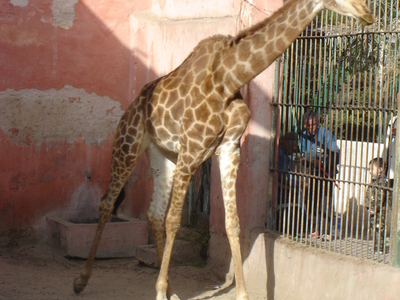 A Giraffe At Alexandria Zoo