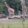 Giraffe Baby At Dublin Zoo