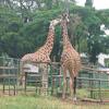 Giraffes Lunch