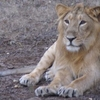 Gir Lion Male