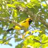 Golden Monarch - Papua Province