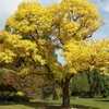Golden Tree - Dunedin North - Otago NZ