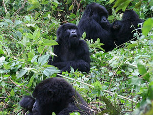 Uganda Highlights - Gorillas & Chimps Fotos