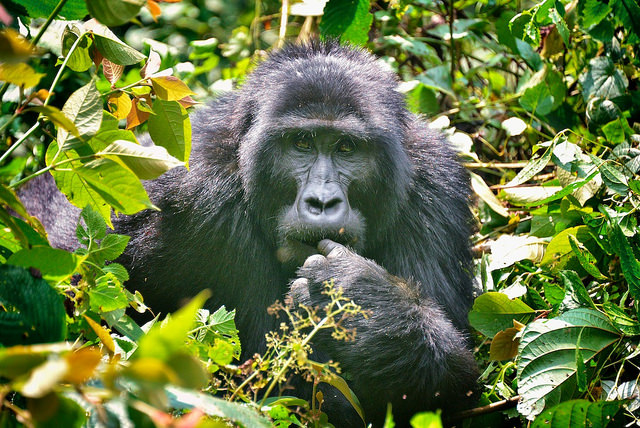 3 Day Fly-in Gorilla Tracking In Uganda Photos