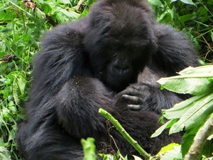 5 DAYS Bwindi - Gorilla & Queen Elizabeth Safari