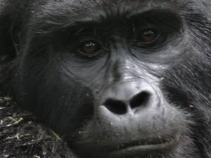 6-Day Rwanda Mountain Gorillas' Trek