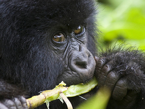 Gorilla Tracking - Bwindi National Park in Uganda Photos