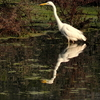 Great Egret At Keoladeo Ghana National Park