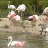 Greater Flamingos At Pulicat Lake Bird Sanctuary