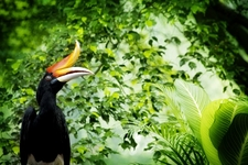 Great Hornbill In Malay Tropical Forest