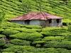 Green Tea Plantations At Munnar