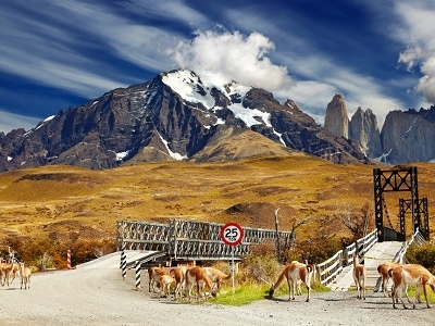 Guanacos In Torres Del Paine National Park - Chile