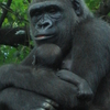 Gorilla At The Bronx Zoo