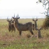 Gorongosa Waterbucks