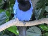 Gralha  Azul Is The City Bird