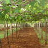 Grapes Cultivation In Odaipatti