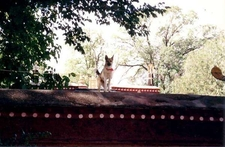Guard Dog On Norbulingka Wall