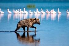 Hyena At Lake Nakuru