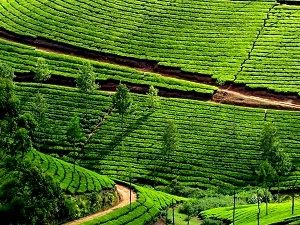 Tour of Munnar, Tea Plantation