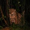 Jaguar Pantanal